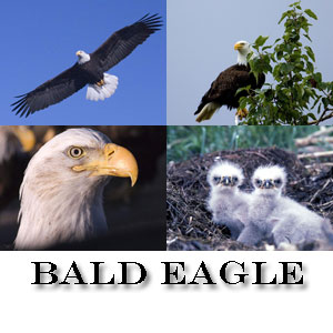 Protect your monitor with amazing Bald Eagle